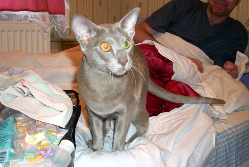 Cat whose eyes appear bicolor
