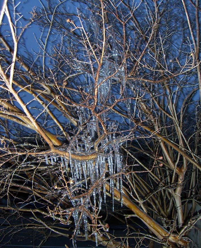 Icicles on a tree: the ice storm of January 2007 in Austin, Texas